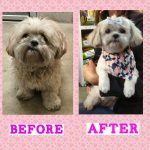 before and after pictures for dog grooming toronto