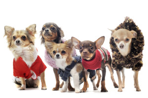 five chihuahuas